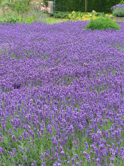 lavandula angustifolia 39 hidcote blue 39 echter lavendel g nstig beim stauden spezialisten kaufen. Black Bedroom Furniture Sets. Home Design Ideas